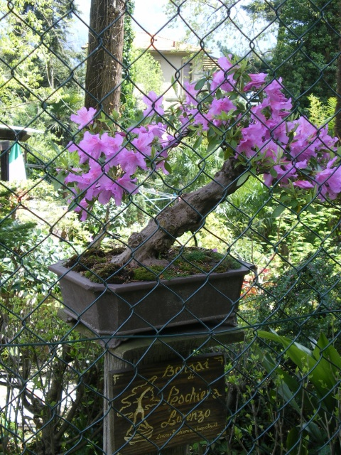 Bonsai azalea in bloom, Lake Como