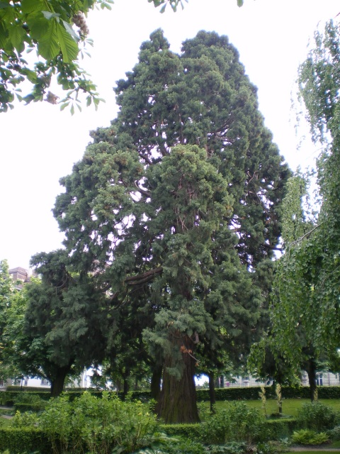 Giant Sequoia, Lausanne